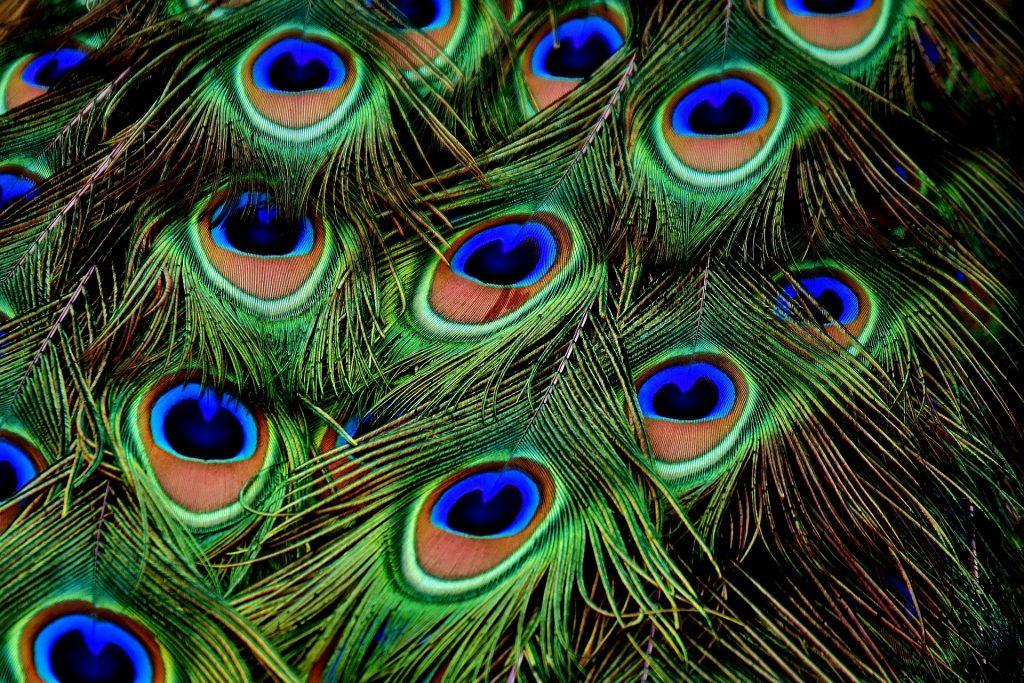 kolory pawich piór